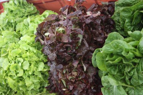 Western Wake Lettuce